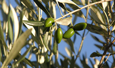 Extra virgin olive oil production